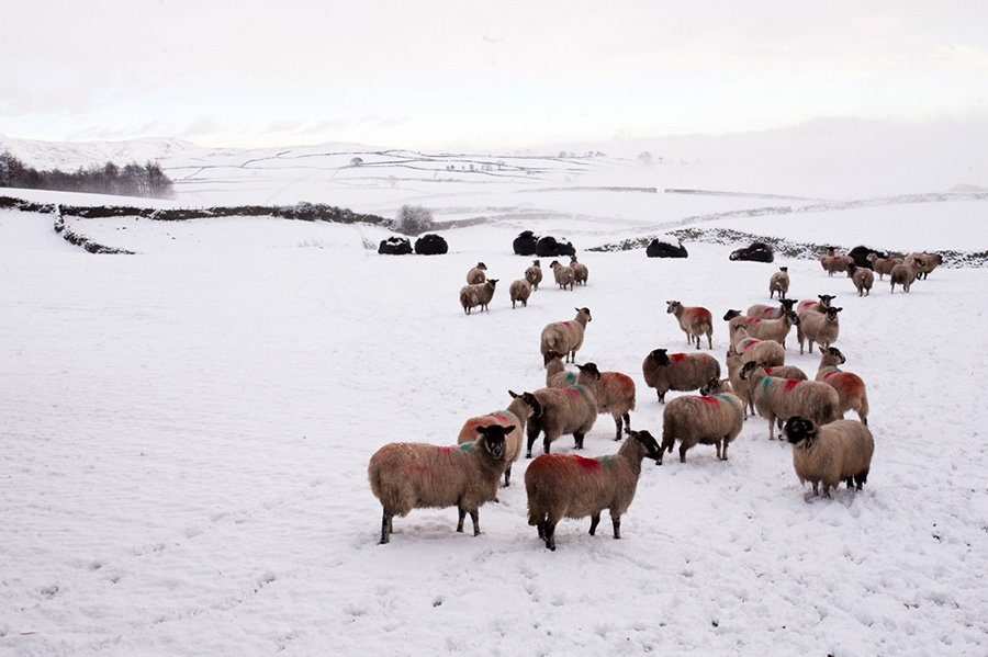 Christmas_2015_Two_Nights_for_FREE_sheep