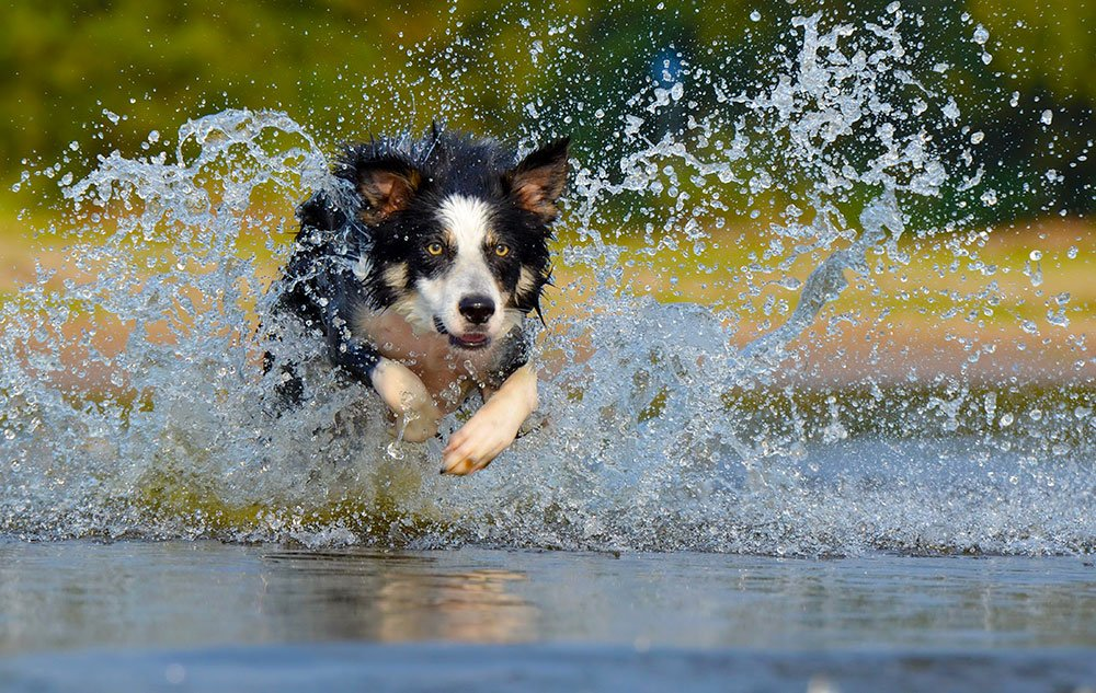 Dog Splashing Through Water