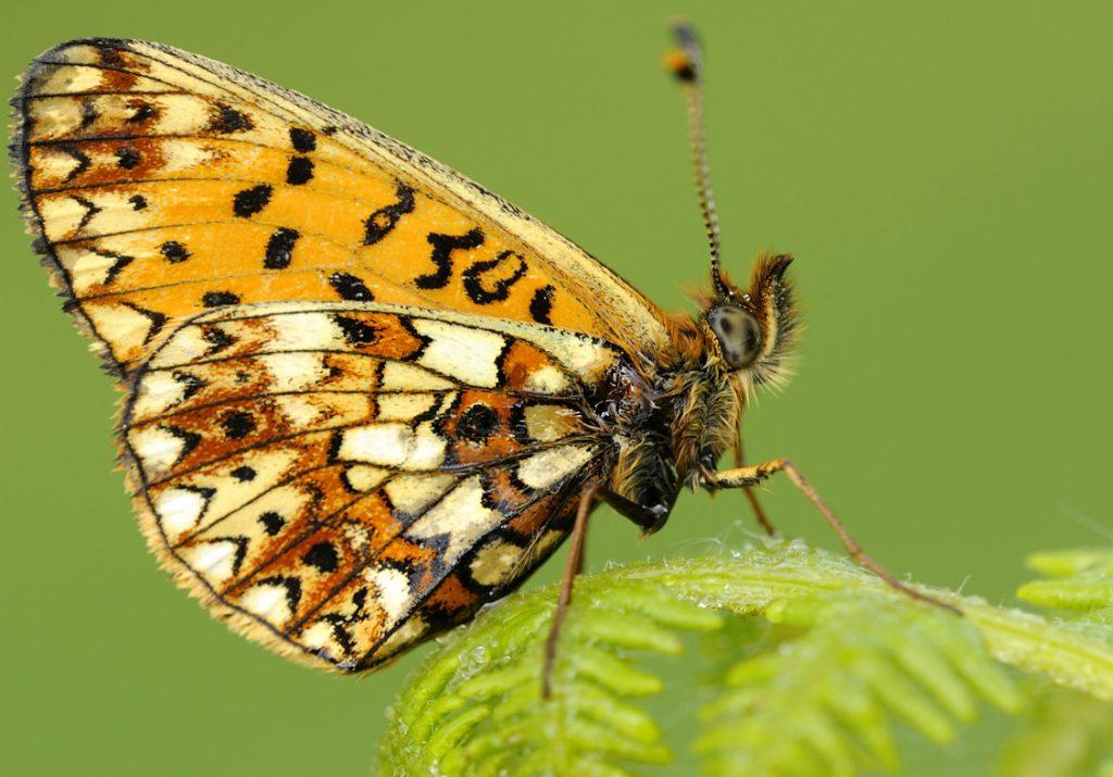 Fritillary butterfly enjoying the fertile gardens of Sizergh Castle