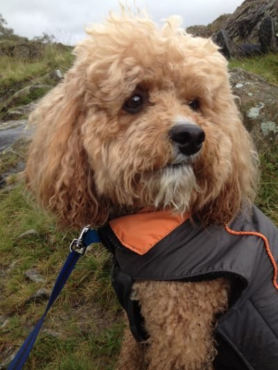 Dog walks in the Lake District - Mario up Wansfell.