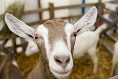 Goat at Westmorland County Show
