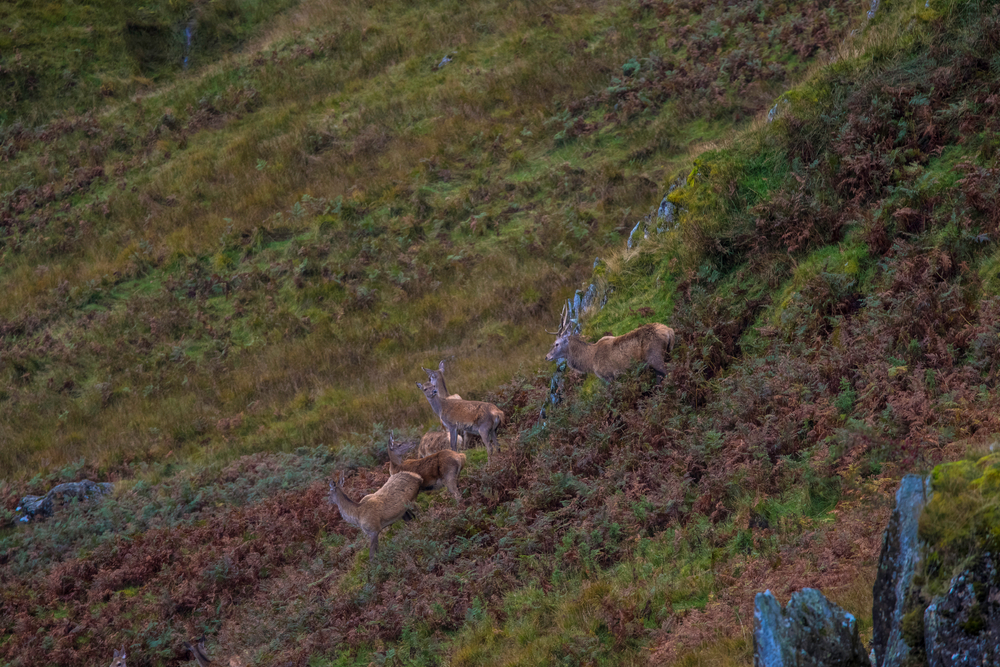 Red Deer in the Lake District
